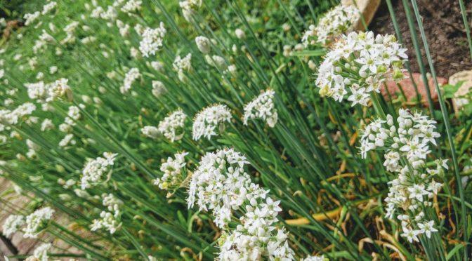 [庭] 韮の花